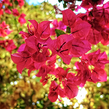 Bougainvillea | LENS MODEL NOT SET