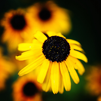 Black Eyed Susan | LEICA 100MM F/2.8 APO MACRO ELMARIT <br> Click image for more details, Click <b>X</b> on top right of image to close