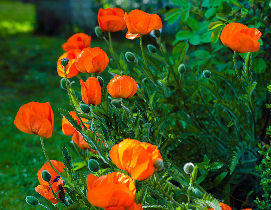 Poppies in Bloom. | LEICA SUMMARIT 75MM F2.5 <br> Click image for more details, Click <b>X</b> on top right of image to close