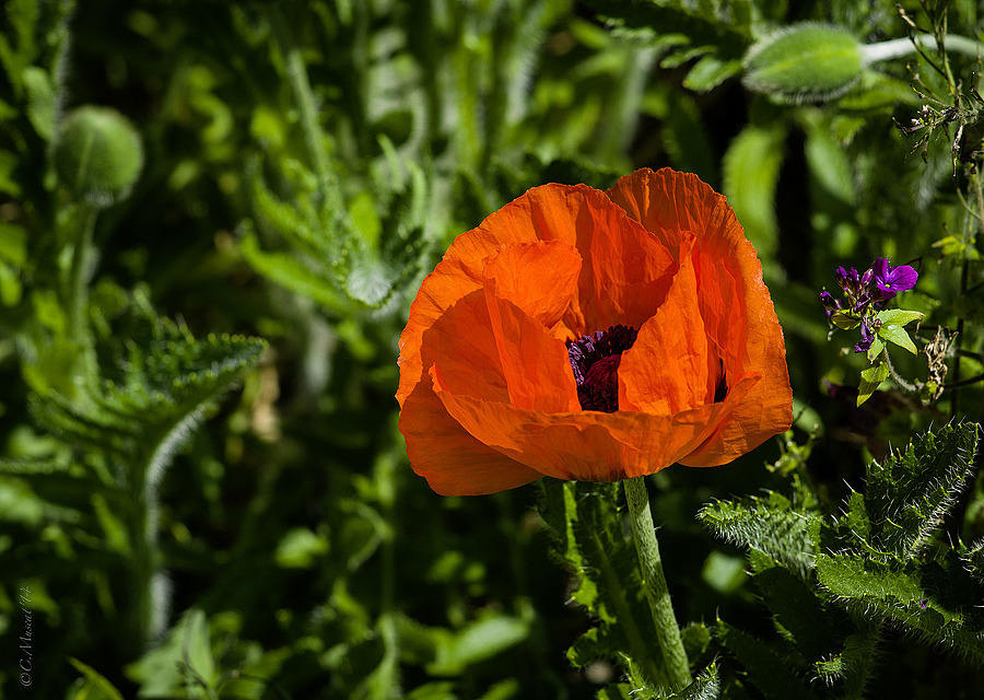 Poppy. | LEICA TELE-ELMAR 135MM F/4 <br> Click image for more details, Click <b>X</b> on top right of image to close