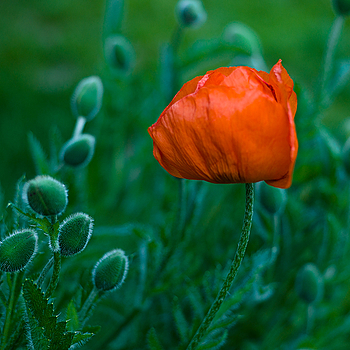 Poppy. | LEICA SUMMARIT 75MM F2.5 <br> Click image for more details, Click <b>X</b> on top right of image to close