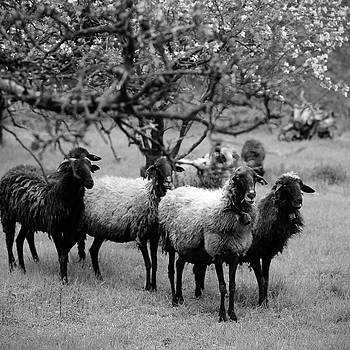 Tresana Sheep | LEICA SUMMARIT 75MM F2.5 <br> Click image for more details, Click <b>X</b> on top right of image to close