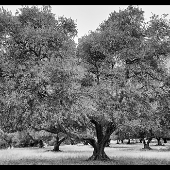 Olive Grove | LENS MODEL NOT SET <br> Click image for more details, Click <b>X</b> on top right of image to close
