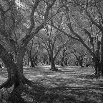 Olive Grove | LEICA ELMAR 24MM F3.8 ASPH <br> Click image for more details, Click <b>X</b> on top right of image to close