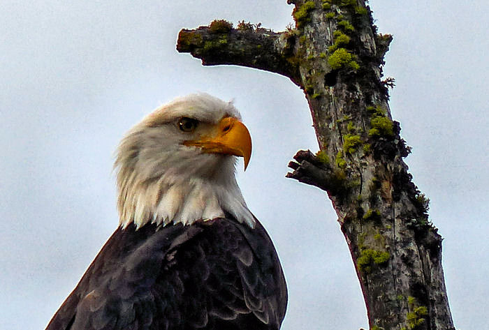 Bald Eagle in The Wild | LENS MODEL NOT SET <br> Click image for more details, Click <b>X</b> on top right of image to close