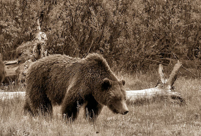 Grizzly Bear | LENS MODEL NOT SET <br> Click image for more details, Click <b>X</b> on top right of image to close