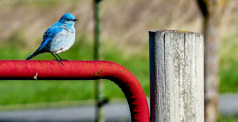 Mountain Bluebird | LENS MODEL NOT SET <br> Click image for more details, Click <b>X</b> on top right of image to close