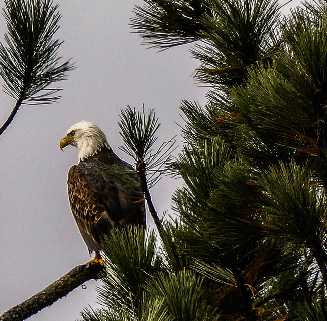 Bald Eagle | LENS MODEL NOT SET <br> Click image for more details, Click <b>X</b> on top right of image to close