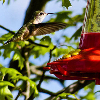 Hummingbird | LENS MODEL NOT SET <br> Click image for more details, Click <b>X</b> on top right of image to close