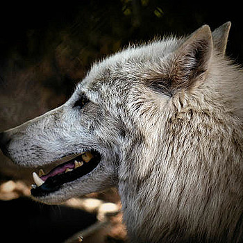 Gray Wolf | LENS MODEL NOT SET <br> Click image for more details, Click <b>X</b> on top right of image to close