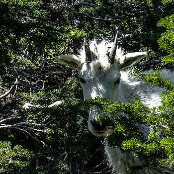 While hiking in Glacier National Park I had the feeling I was being watched. (you know the feeling) I stopped and looked around  | LENS MODEL NOT SET <br> Click image for more details, Click <b>X</b> on top right of image to close