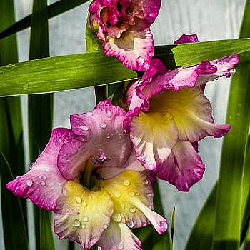 Gladiolas | LENS MODEL NOT SET <br> Click image for more details, Click <b>X</b> on top right of image to close