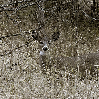 Whitetail Deer (doe) | LENS MODEL NOT SET <br> Click image for more details, Click <b>X</b> on top right of image to close