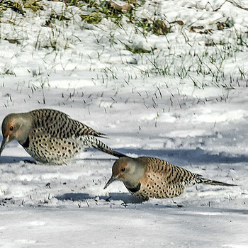 Northern Flicker Pair | LENS MODEL NOT SET <br> Click image for more details, Click <b>X</b> on top right of image to close