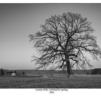 Lonely Oak, waiting for spring. | SUMMILUX-M 1:1.4/50 ASPH <br> Click image for more details, Click <b>X</b> on top right of image to close