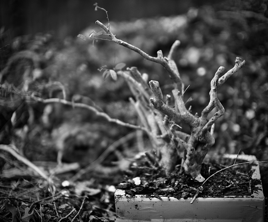 yaupon holly pre-bonsai | LEICA NOCTILUX 50MM F0.95 ASPH <br> Click image for more details, Click <b>X</b> on top right of image to close