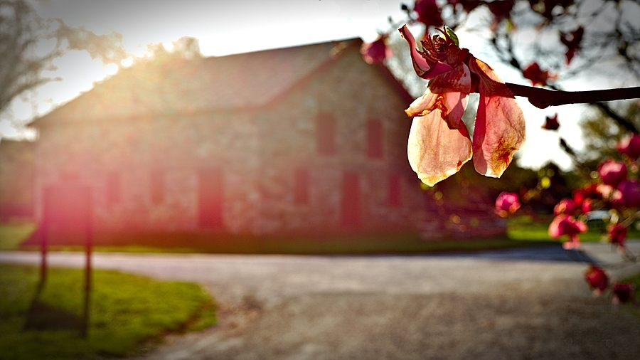 Magnolia Flower and Mule Barn | LEICA SUMMICRON 50MM F2 <br> Click image for more details, Click <b>X</b> on top right of image to close