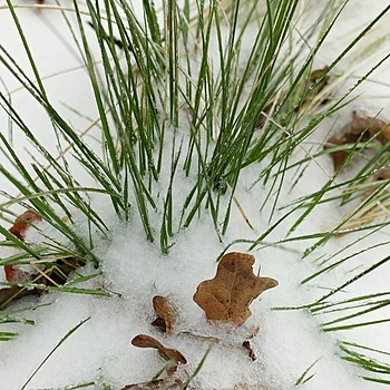 Mexican Feather Grass in Snow | LEICA SUMMICRON 50MM F2 <br> Click image for more details, Click <b>X</b> on top right of image to close