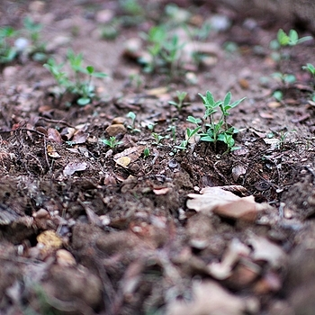 texas bluebonnet (lupinus texensis) seedlings | LEICA NOCTILUX 50MM F0.95 ASPH <br> Click image for more details, Click <b>X</b> on top right of image to close