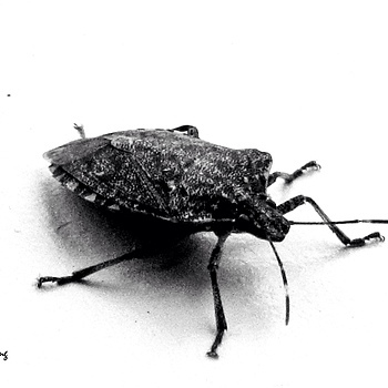 Brown Marmorated Stink Bug #1 | DC VARIO-SUMMICRON 1:2.0-3.3/5.1-19.2 ASPH <br> Click image for more details, Click <b>X</b> on top right of image to close