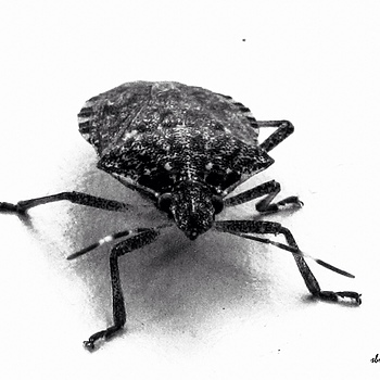 Brown Marmorated Stink Bug #2 | DC VARIO-SUMMICRON 1:2.0-3.3/5.1-19.2 ASPH <br> Click image for more details, Click <b>X</b> on top right of image to close