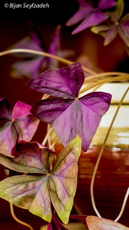 Oxalis Triangularis | LEICA ELMARIT 90MM F2.8 <br> Click image for more details, Click <b>X</b> on top right of image to close