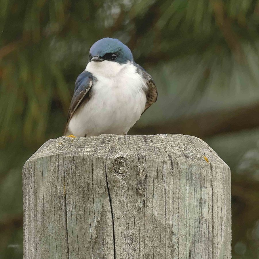 Tree Swallow | LENS MODEL NOT SET <br> Click image for more details, Click <b>X</b> on top right of image to close