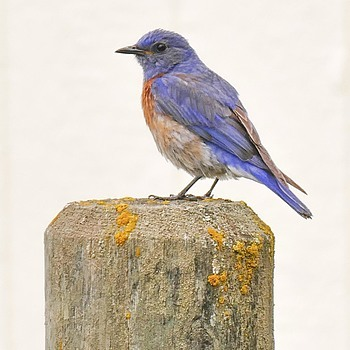 Western Bluebird | LENS MODEL NOT SET <br> Click image for more details, Click <b>X</b> on top right of image to close
