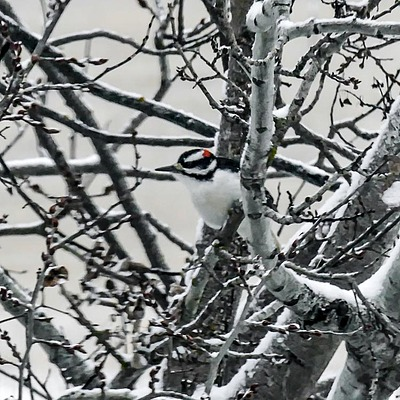 Downy or Hairy Woodpecker | LENS MODEL NOT SET <br> Click image for more details, Click <b>X</b> on top right of image to close