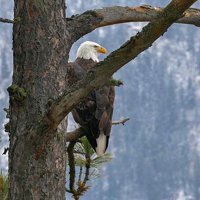 Photo: Bald Eagle | LENS MODEL NOT SET <br> Click image for more details, Click <b>X</b> on top right of image to close