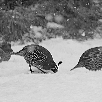 California Quail in Winter | LENS MODEL NOT SET <br> Click image for more details, Click <b>X</b> on top right of image to close