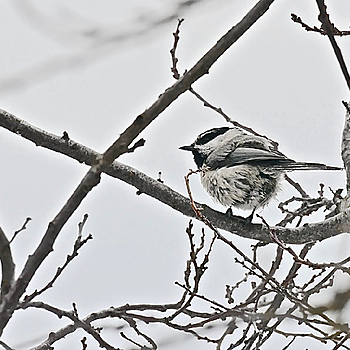 Mountain Chickadee | LENS MODEL NOT SET <br> Click image for more details, Click <b>X</b> on top right of image to close