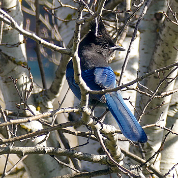 Steller's Jay | LENS MODEL NOT SET <br> Click image for more details, Click <b>X</b> on top right of image to close