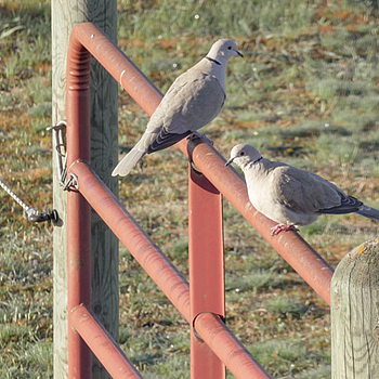 Eurasian Collared-Doves | LENS MODEL NOT SET <br> Click image for more details, Click <b>X</b> on top right of image to close