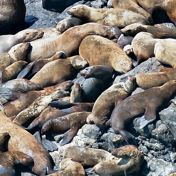 Sea Lions | LENS MODEL NOT SET <br> Click image for more details, Click <b>X</b> on top right of image to close
