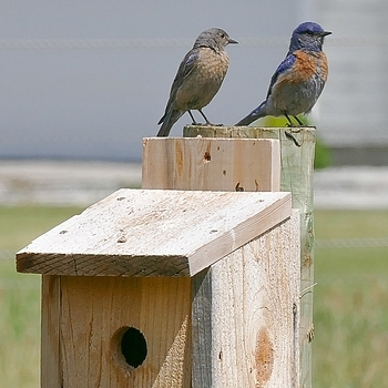 Bluebirds | LENS MODEL NOT SET <br> Click image for more details, Click <b>X</b> on top right of image to close