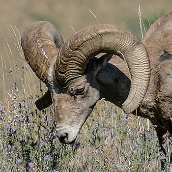 Rocky Mountain Bighorn | LENS MODEL NOT SET