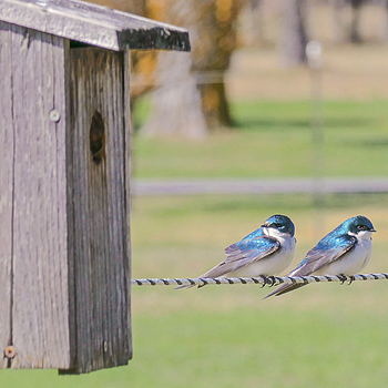 Tree Swallow Pair | LENS MODEL NOT SET