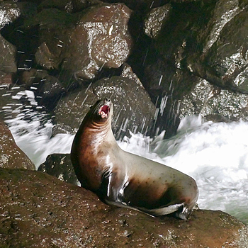 Sea Lion | LENS MODEL NOT SET <br> Click image for more details, Click <b>X</b> on top right of image to close