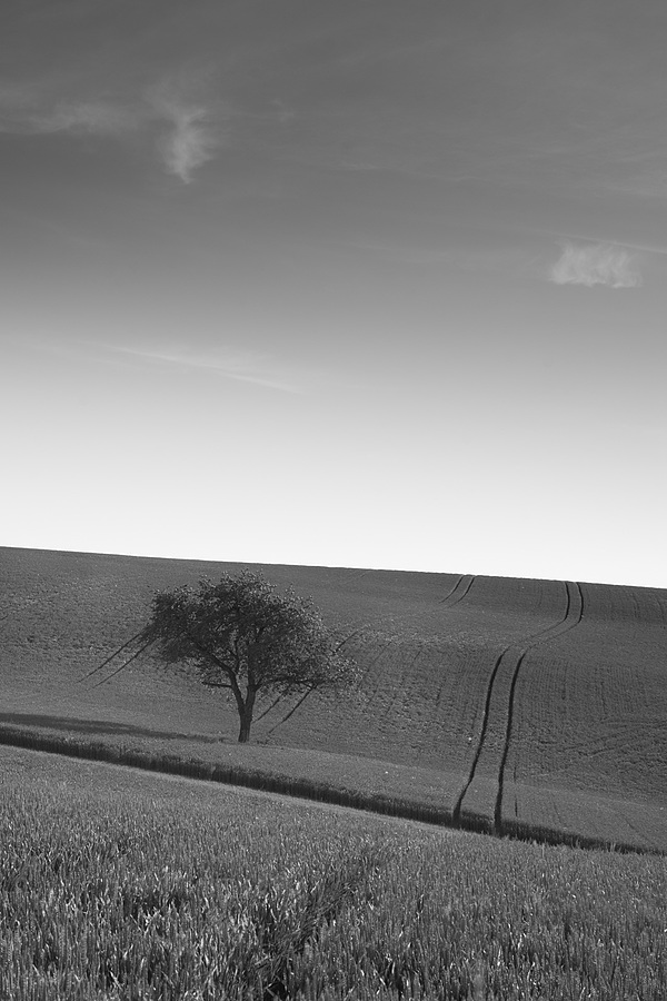 Lonely tree among the cereal fields | LEICA 80MM F/1.4 SUMMILUX <br> Click image for more details, Click <b>X</b> on top right of image to close