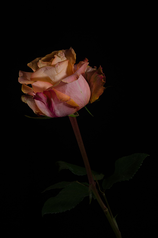 Multicoloured rose | LEICA MACRO-ELMAR 90MM F <br> Click image for more details, Click <b>X</b> on top right of image to close