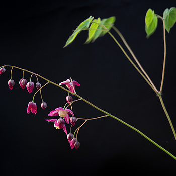 Epimedium | LEICA MACRO-ELMAR 90MM F <br> Click image for more details, Click <b>X</b> on top right of image to close